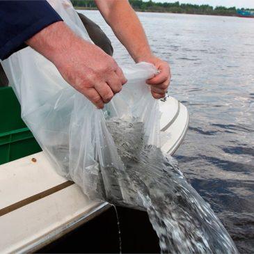 БОЛЕЕ 5 ТЫСЯЧ  мальков стерляди впервые выпустили в реку Шексну в Кирилловском районе