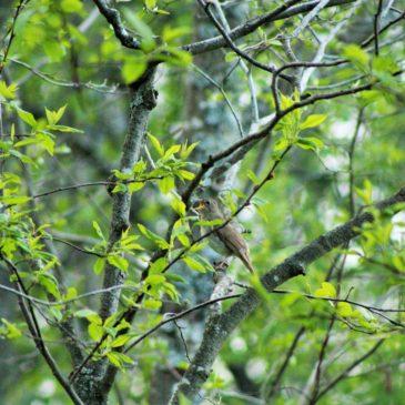 В Вологде пересчитают соловьев: ежегодная акция Союза охраны птиц России «Соловьиные вечера-2019» состоится 18-19 мая.
