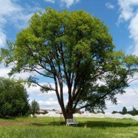 Дуб-столетник из усадьбы Хвалевское стал памятником живой природы всероссийского значения.