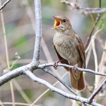 Вологодское отделение Союза охраны птиц России приглашает на «Соловьиные вечера-2020».