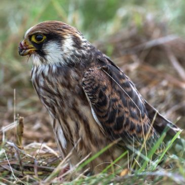 Статус птицы 2021 года присвоен соколу-кобчику – исчезающему хищнику