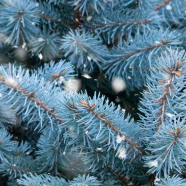 Ученые установили, почему голубая ель имеет такой оттенок хвои