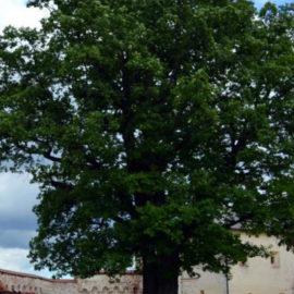 """Голосуйте за дуб из Кириллова в конкурсе """"Российское дерево года-2021"""""""