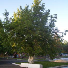 Еще одно вологодское дерево внесено в национальный реестр старовозрастных деревьев России